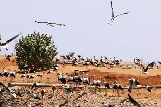 أسراب الطيور المهاجرة (2)