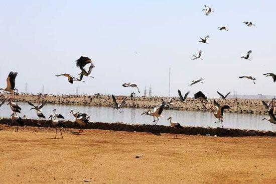 أسراب الطيور المهاجرة (1)