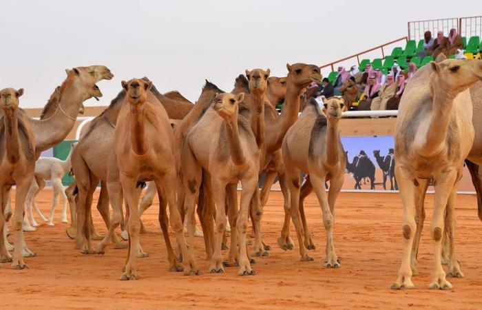 نادي الإبل يعلن آلية المشاركة في مهرجان الملك عبد العزيز: لقاح كورونا شرط