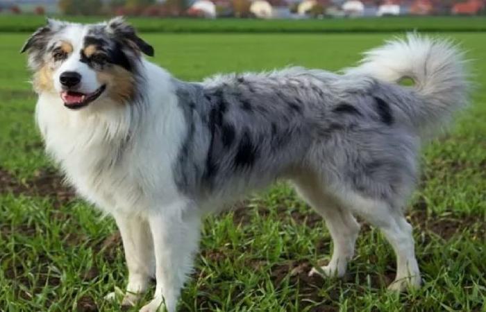 فيروس «خطير» ينتشر بين الكلاب الأسترالية