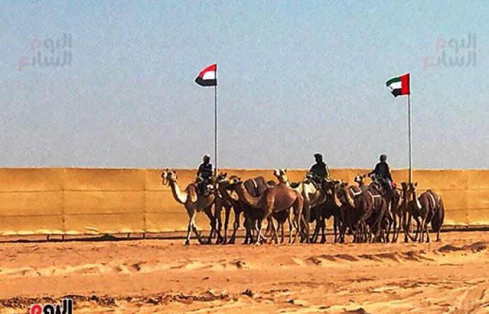الإبل المصرية تتوافد على مدينة العلمين استعدادا لبطولة سباق الهجن.. فيديو وصور