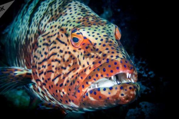 """سمكة قرش تتحول إلى """"لقمة صغيرة"""" بفم هامور عملاق... فيديو"""